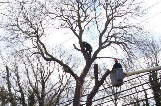 Using a Bucket Truck to Prune Trees